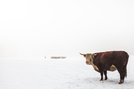Highland cattle in a foggy white winter scene with a large bull in front photo