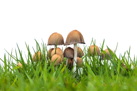 Group of psathyrella mushrooms on fresh grass isolated on a white background photo