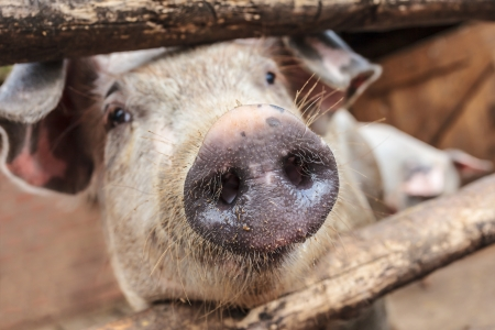 Curious young pig in a wooden stable on an organic farm photo