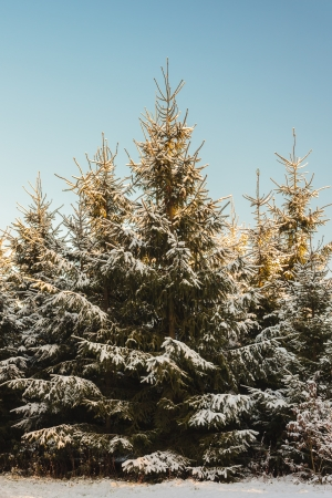 Fir tree forest covered with snow against a blue sky photo