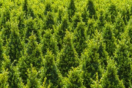 sculpted: Industriële groei van gebeeldhouwde groene buxus bomen