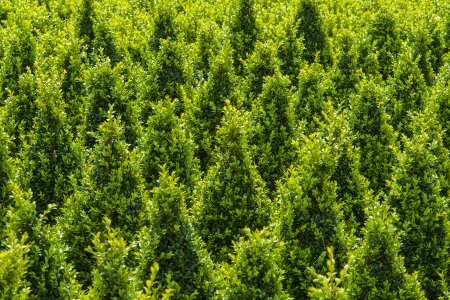 sculpted: Industrial growth of sculpted green buxus trees