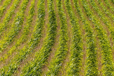 Field with rows of corn in summer photo