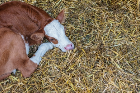 calf cow: Young brown with white calf lying on hay