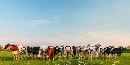 Panorama de curiosas vacas lecheras holandesas en una fila
