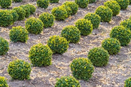 sculpted: Industriële groei van groene gebeeldhouwde buxus bomen Stockfoto