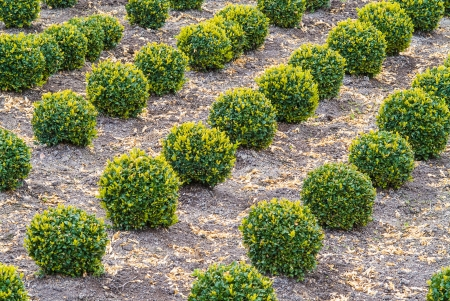 sculpted: Industrial growth of green sculpted buxus trees Stock Photo