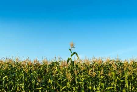 cornfield: Single corn plant growing faster than the other ones in a corn field in summer