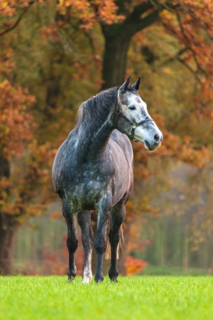 Grey horse in autumn on green grass photo
