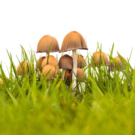 Group of psathyrella mushrooms on fresh grass isolated on a white background Stock Photo - 18546964