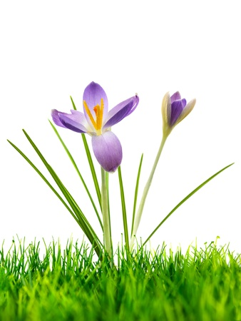 Purple crocus flower on fresh green grass isolated on a white background Stock Photo - 18546959