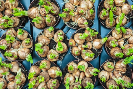 Spring flower bulbs with green stems in a crate on a market photo