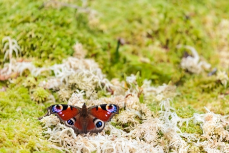 inachis: European peacock butterfly on moss in spring with room for copy space