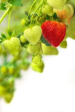Group of green strawberries with one ripe red strawberry against a white background photo