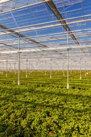 flower nursery: Rows of young geranium plants in a greenhouse