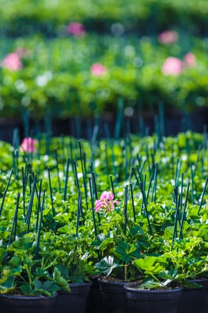 Rows of young geranium plants in a greenhouse photo