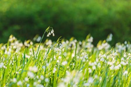 Gran campo con campanillas en flor blanca en primavera