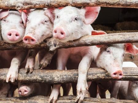 Rij van nieuwsgierige jonge varkens in een houten stal