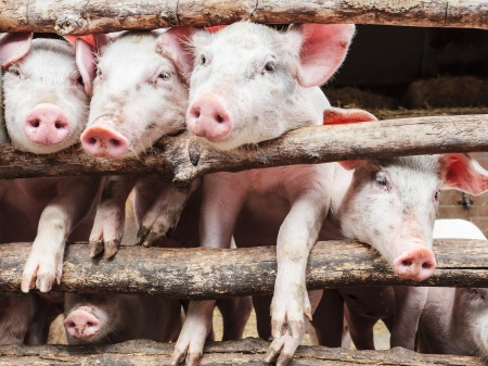 pigpen: Row of curious young pigs in a wooden stable Stock Photo