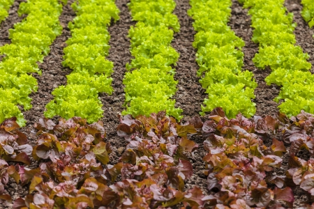Fresh rows of green and red lettuce vegetables on a farm field photo
