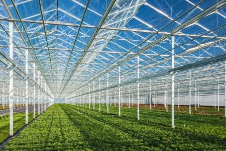 invernadero: Hileras de plantas de geranio j?venes en un invernadero Foto de archivo