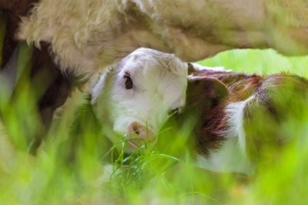 ly: Newborn brown with white Hereford calf seeking shelter by its mother