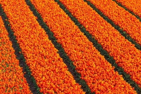 High angle view of rows of red and orange tulips on a farm field photo