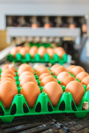 Conveyor belt transporting crates with fresh eggs on an organic chicken farm Standard-Bild