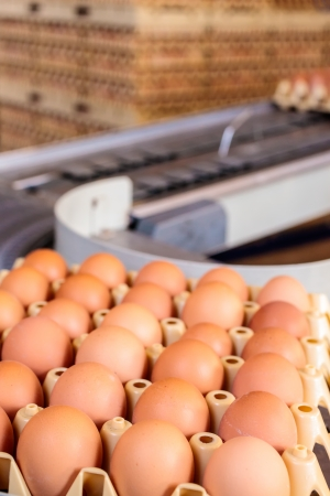 Conveyor belt transporting crates with fresh eggs on an organic chicken farm Stock Photo