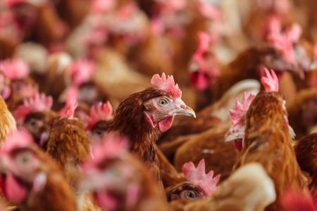 Poule brune curieux sur un élevage de poulets bio en libre parcours