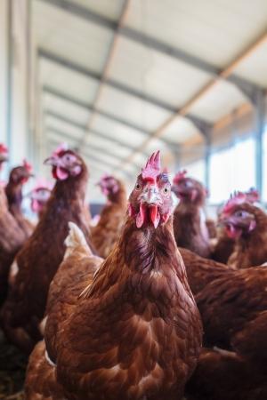 Curious brown hen on an organic free range chicken farm Stock Photo