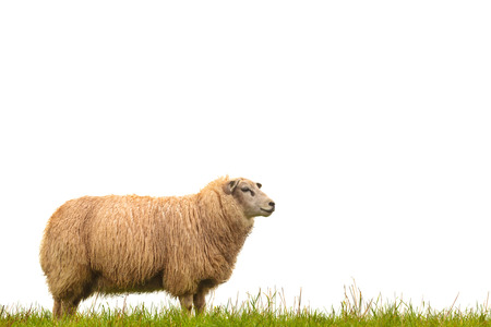 Mature sheep standing on fresh green grass isolated on a white background Imagens