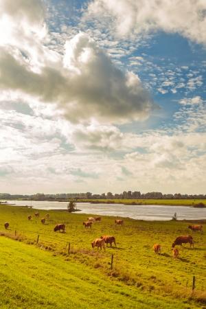 ijssel: Farmland with cows alongside the Dutch river IJssel in the province of Gelderland