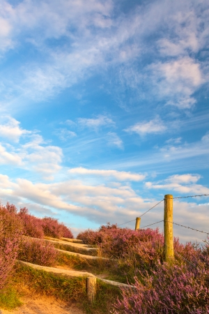 posbank: Blooming heathland with hiking trail at the Veluwe in The Netherlands Stock Photo