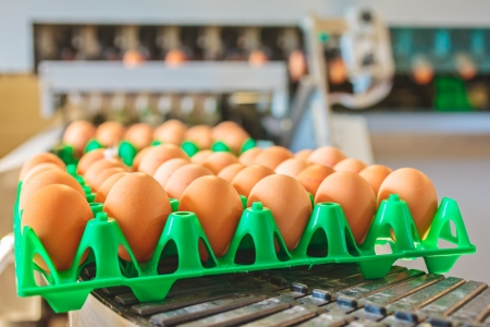 Conveyor belt transporting crates with fresh eggs on an organic chicken farm photo
