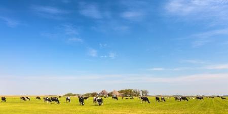 Image panoramique de vaches laitières sur l'île hollandaise de Texel en été