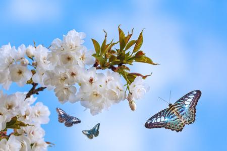 mariposa azul: Mariposas azules que vuelan alrededor de un manzano en flor blanca Foto de archivo