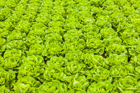 Rows of ready to harvest lettuce in a greenhouse photo