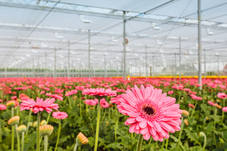 Blooming colorful gerberas in a Dutch greenhouse