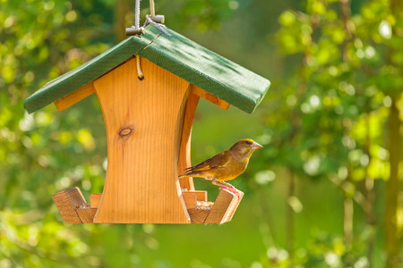 Greenfinch visiting a hanging wooden seed feeder Stock Photo