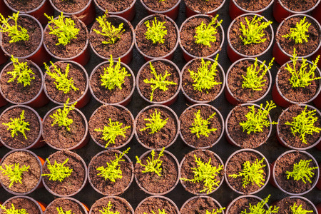 Young conifer sprouts in plastic pots inside a greenhouse
