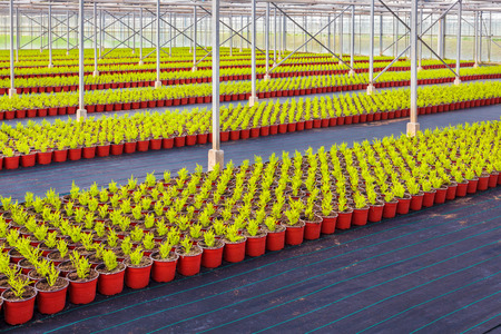 Large rows of young conifer sprouts in a greenhouse photo
