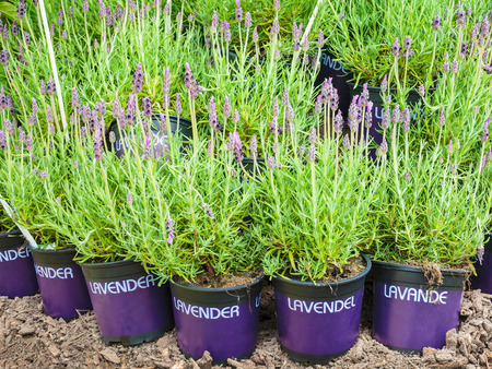 Potted lavender plants on soil with the text lavender in different languages photo