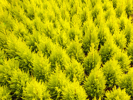 Pattern of young conifer trees in a greenhouse photo
