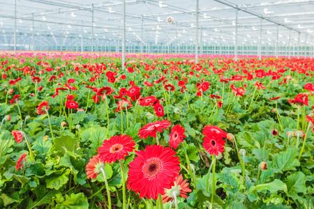 オランダの温室でカラフルなガーベラを開花