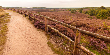 posbank: Panoramic image of blooming heathland with hiking trail at the Veluwe in The Netherlands