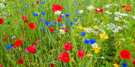 Panoramic image of a field with blooming poppy