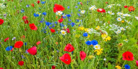 fiordaliso: Immagine panoramica di un campo con fioritura di papavero
