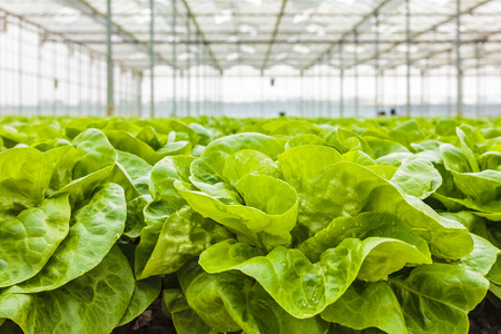 harvest organic: Growth of lettuce inside a greenhouse in The Netherlands