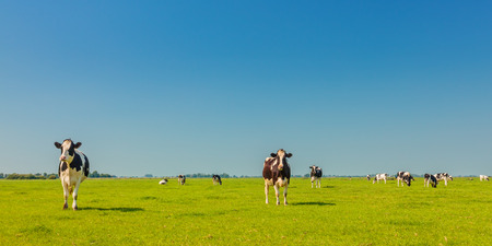 friesland: Panoramic image of milk cows in the Dutch province of Friesland in summer Stock Photo